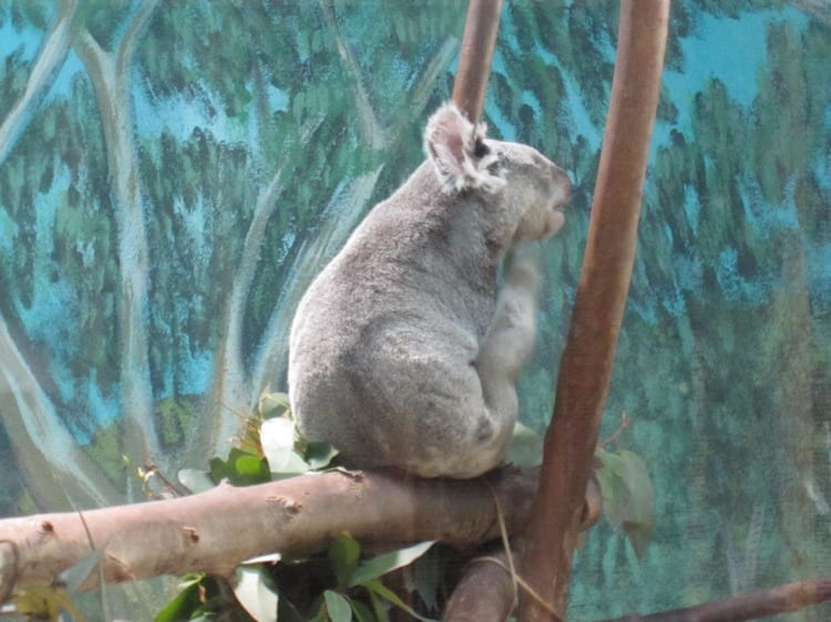 Koala Madrid Zoo | What to do in Madrid with Kids | We3Travel