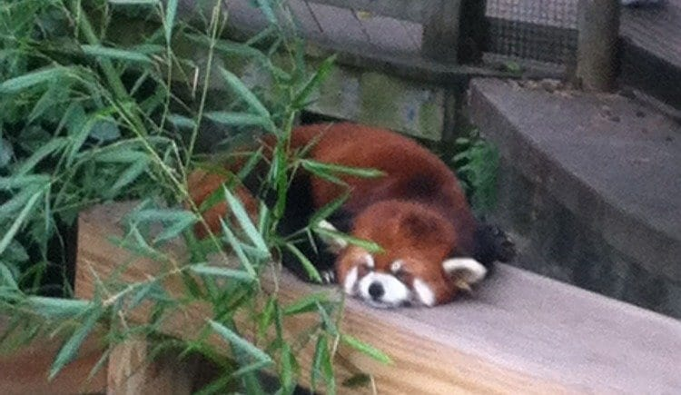 Red Panda at the Roger Williams Zoo in Providence, RI