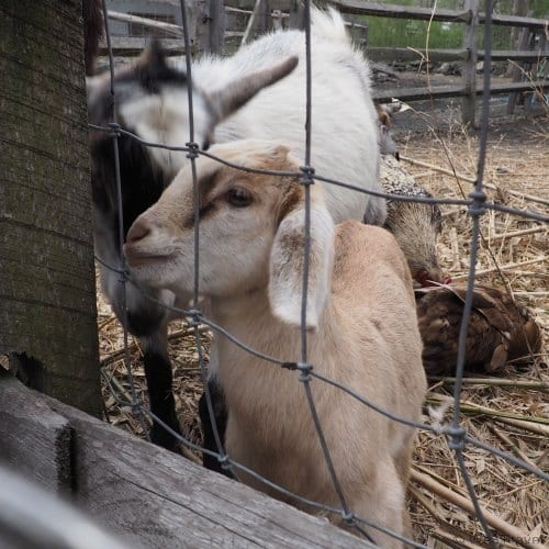 Feeding the goats at Sakonnet Farms with Experience Rhode Island's Springtime in RI tour