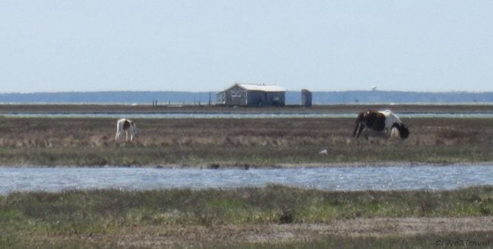 Things to do in Chincoteague, VA -- see the wild ponies