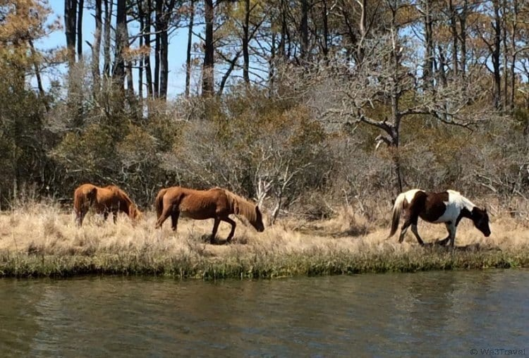 What to do in Chincoteague -- pony watching with Captain Dan's Around the Island Tours