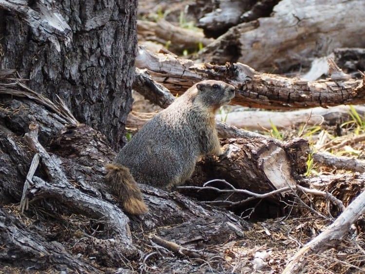 Ground hog at Crater Lake Oregon