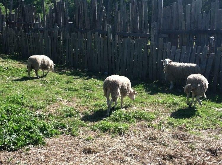 Sheep at Plimoth Plantation