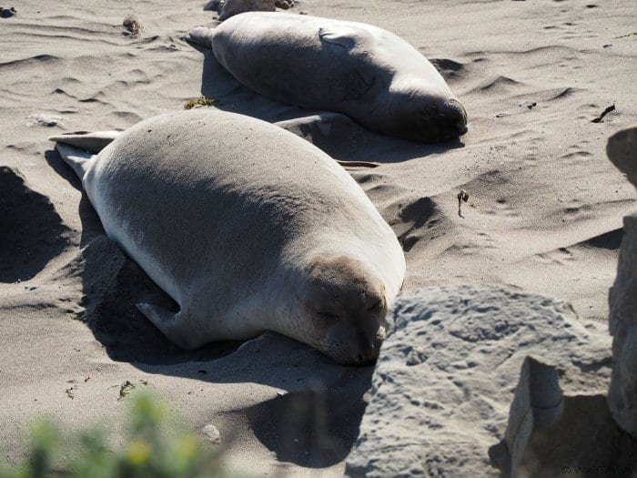 Tips for driving the CA coast: Piedras Blancas Elephant Seal Rookery