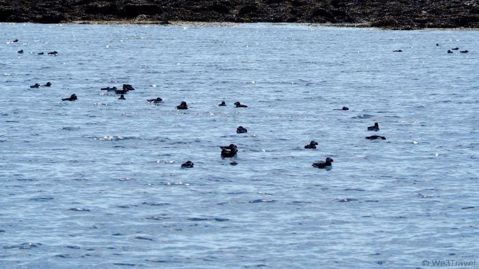 Searching for puffins in Iceland