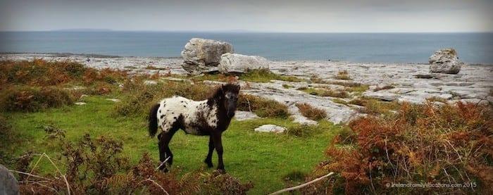 Burren colt in Ireland