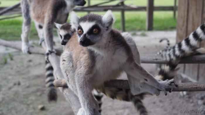 Lemur at Safari Wilderness Ranch