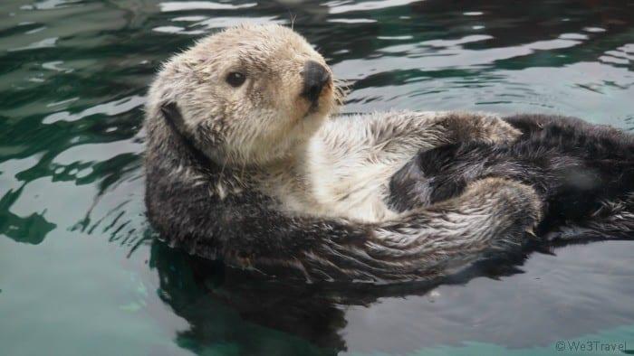 Seattle Aquarium otter