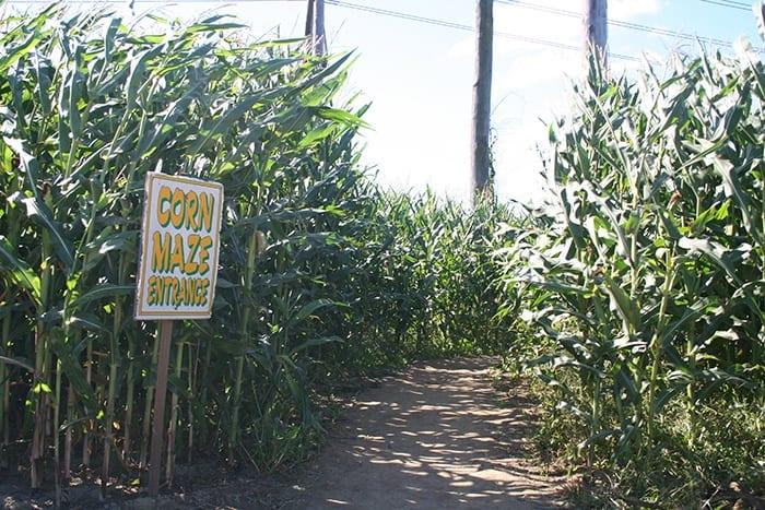Four town farm corn maze RI