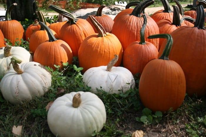 Four Town Farm pumpkin picking in RI
