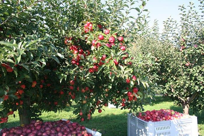 Pippin Apple Orchard in RI