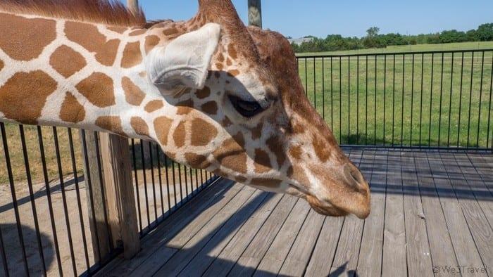 Tanganyika wildlife park giraffe feeding