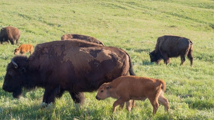 Maxwell wildlife refuge bison
