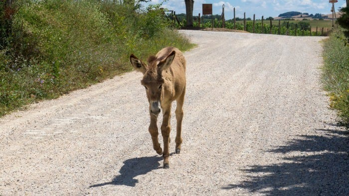 Donkey in the road in Italy