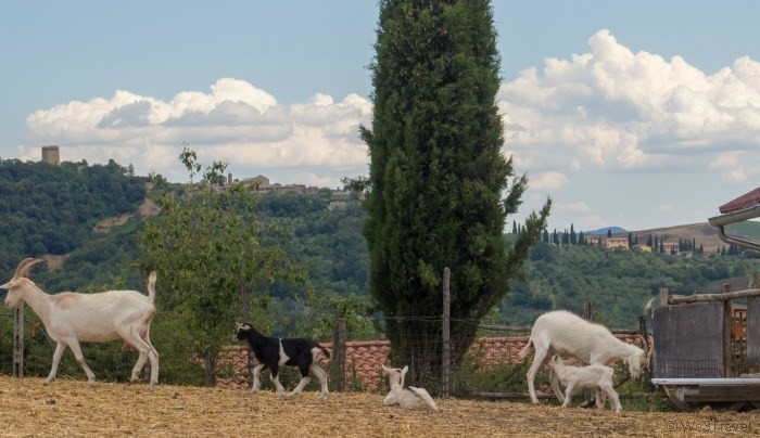 Podere il Casale goats