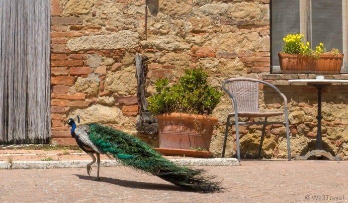 Podere il Casale peacock