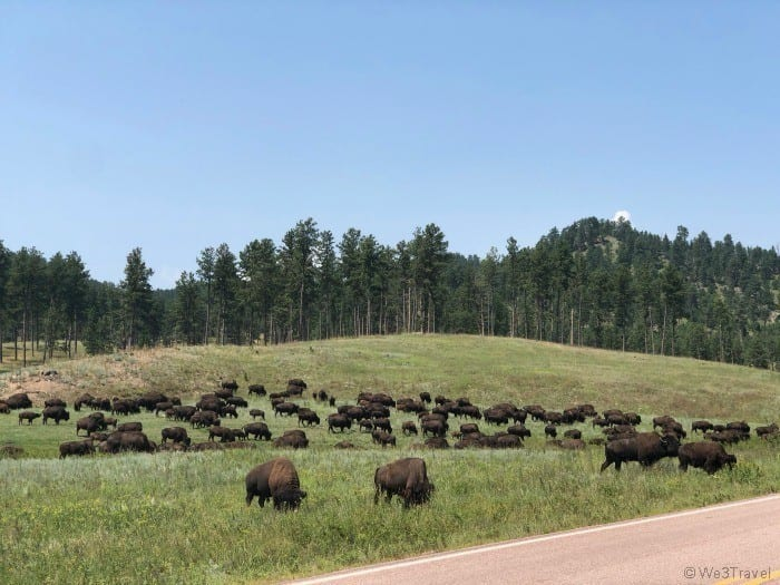 Custer State Park bison herd