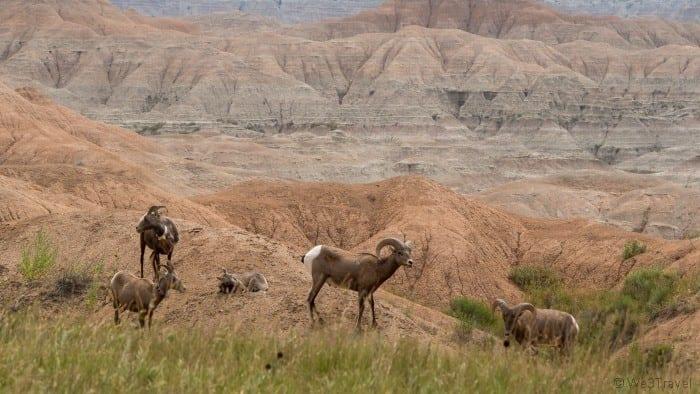 Badlands bighorn sheep