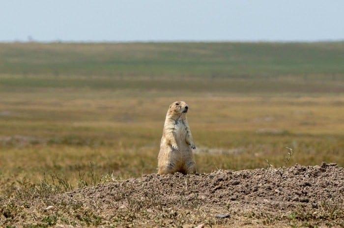 Badlands prairie dog