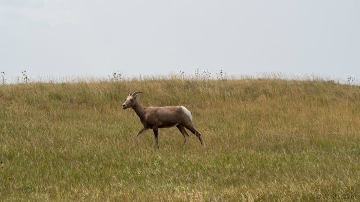 Big horn sheep in grass