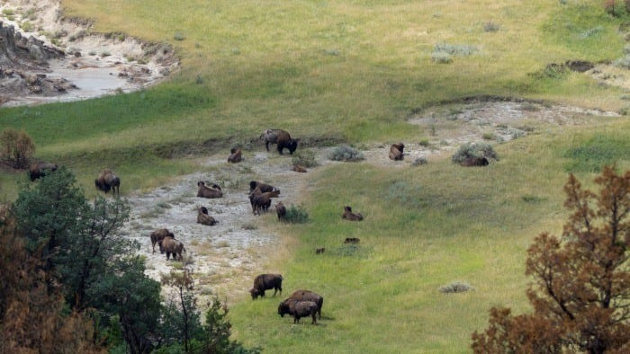 Bison in valley
