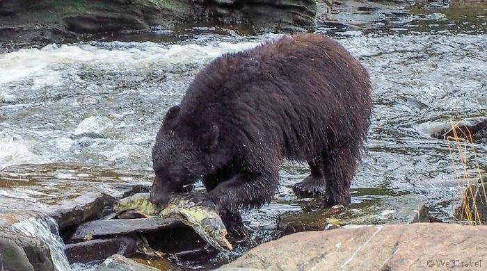 Bear eating fish in Neets Bay