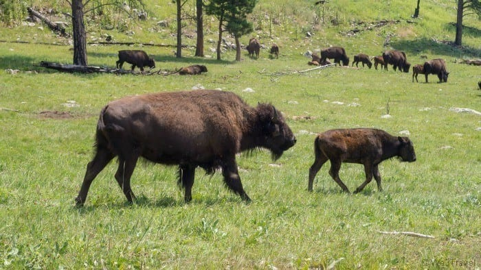 Custer State Park bison