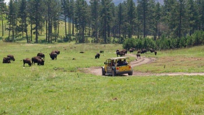 Buffalo jeep safari