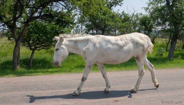 Custer State Park begging burro