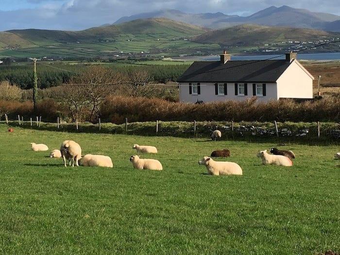 sheep on Dingle Peninsula