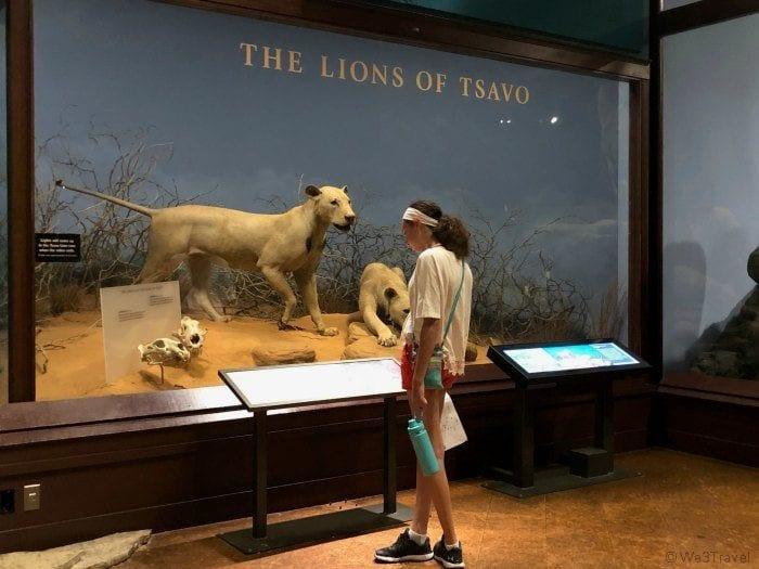 Field Museum Lion