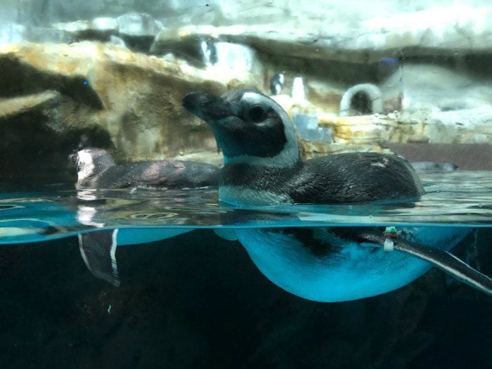 Shedd Aquarium penguin