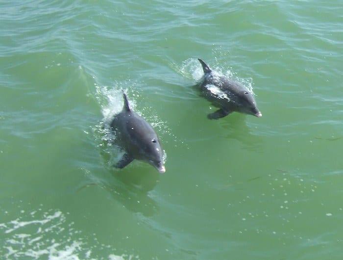 Dolphins Captiva Island Florida
