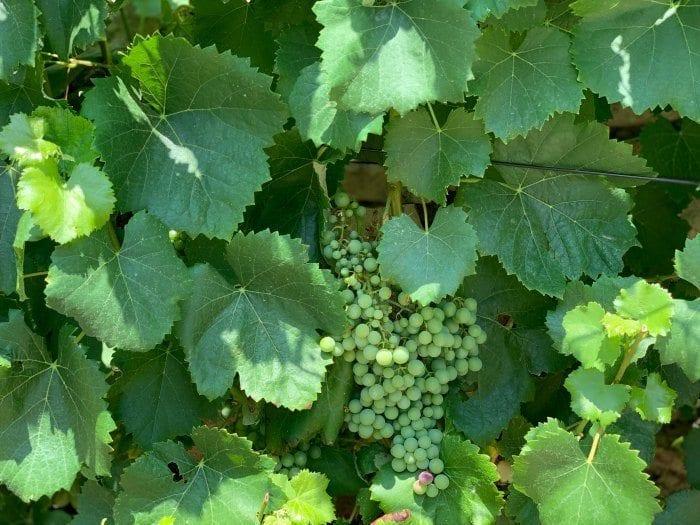 Wine grapes on the vine