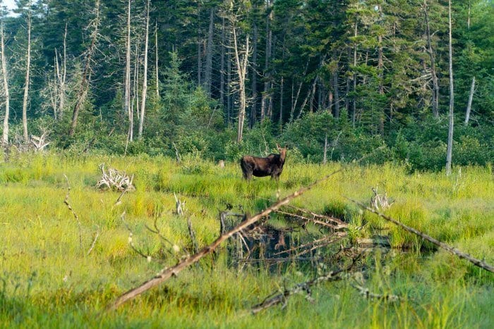 Moose near Moosehead Lake in Maine