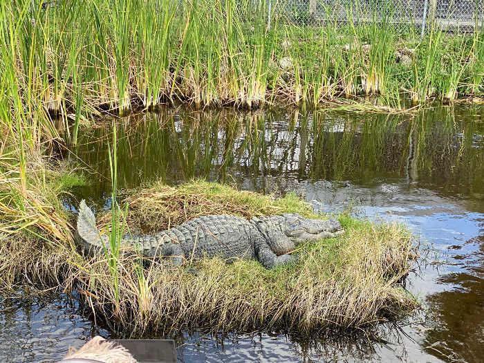 alligator in grass