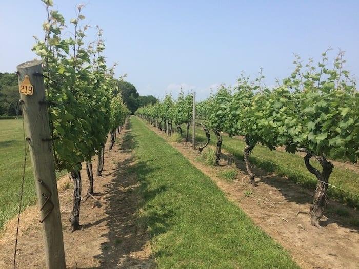 Sakonnet vineyards