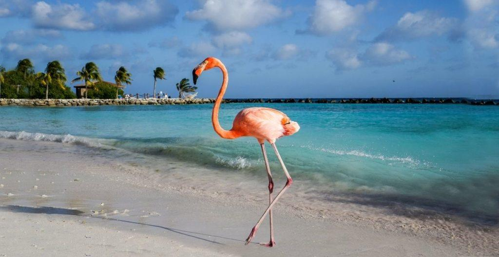 Flamingo on beach in Aruba (from Canva)