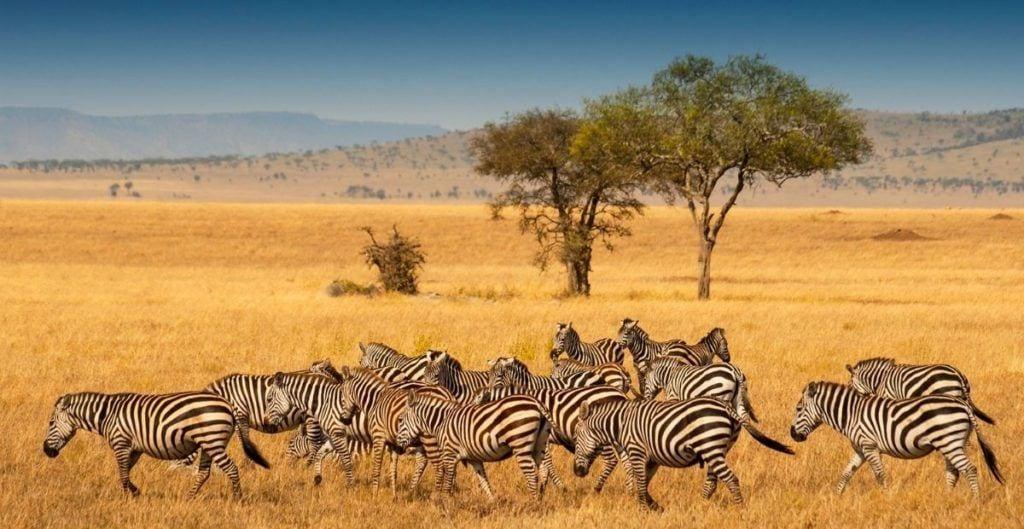 Zebras on savannah in Tanzania (from Canva)