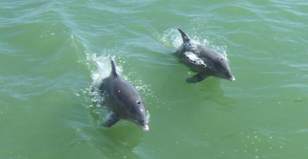 two dolphins jumping out of the green water