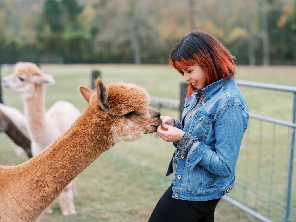 Girl in a jean jacket feeding alpacas at Mistletoe Farm in Franklin TN
