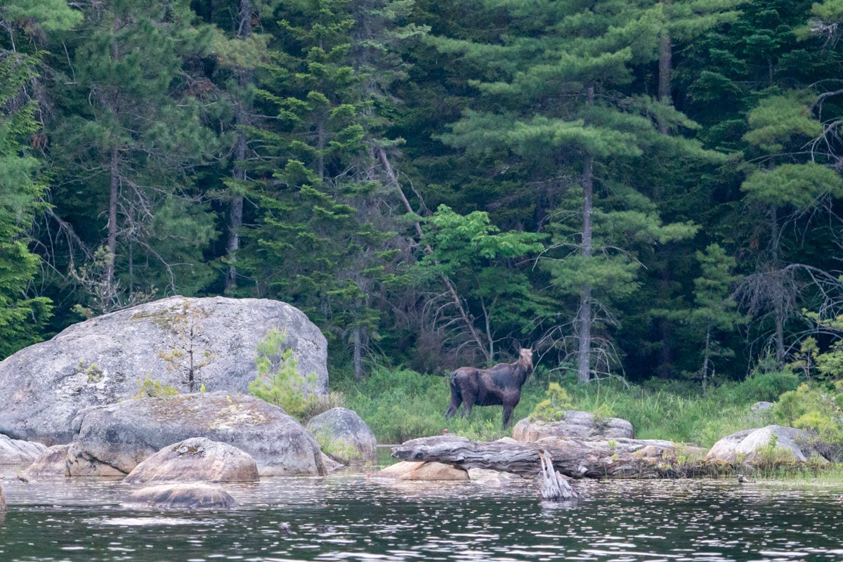 Moose standing by boulder next to river