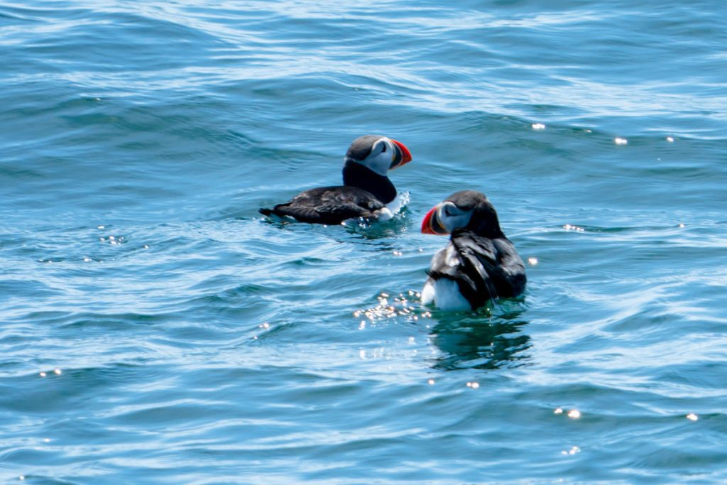2 puffins swimming in the water