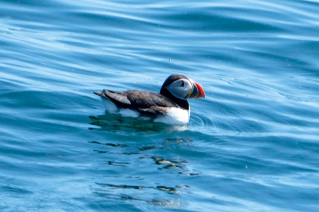 Puffin swimming in the water