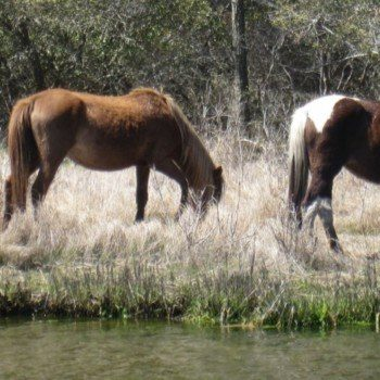 What to do in Chincoteague VA -- searching for ponies