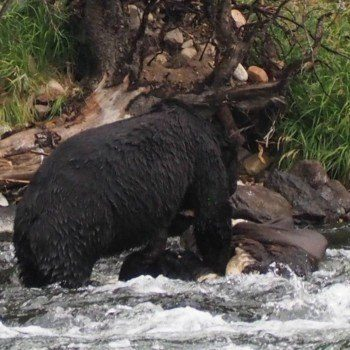 Where to find wildlife in Yellowstone